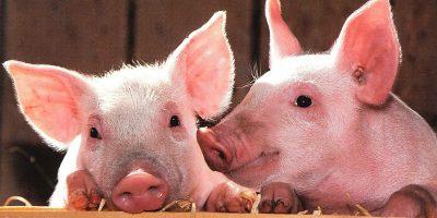 2019 Pigs